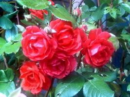 rosas_rojas_1